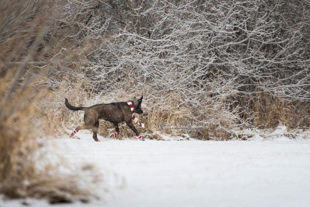 SHEPHERD DOG RUNNING IN SNOW