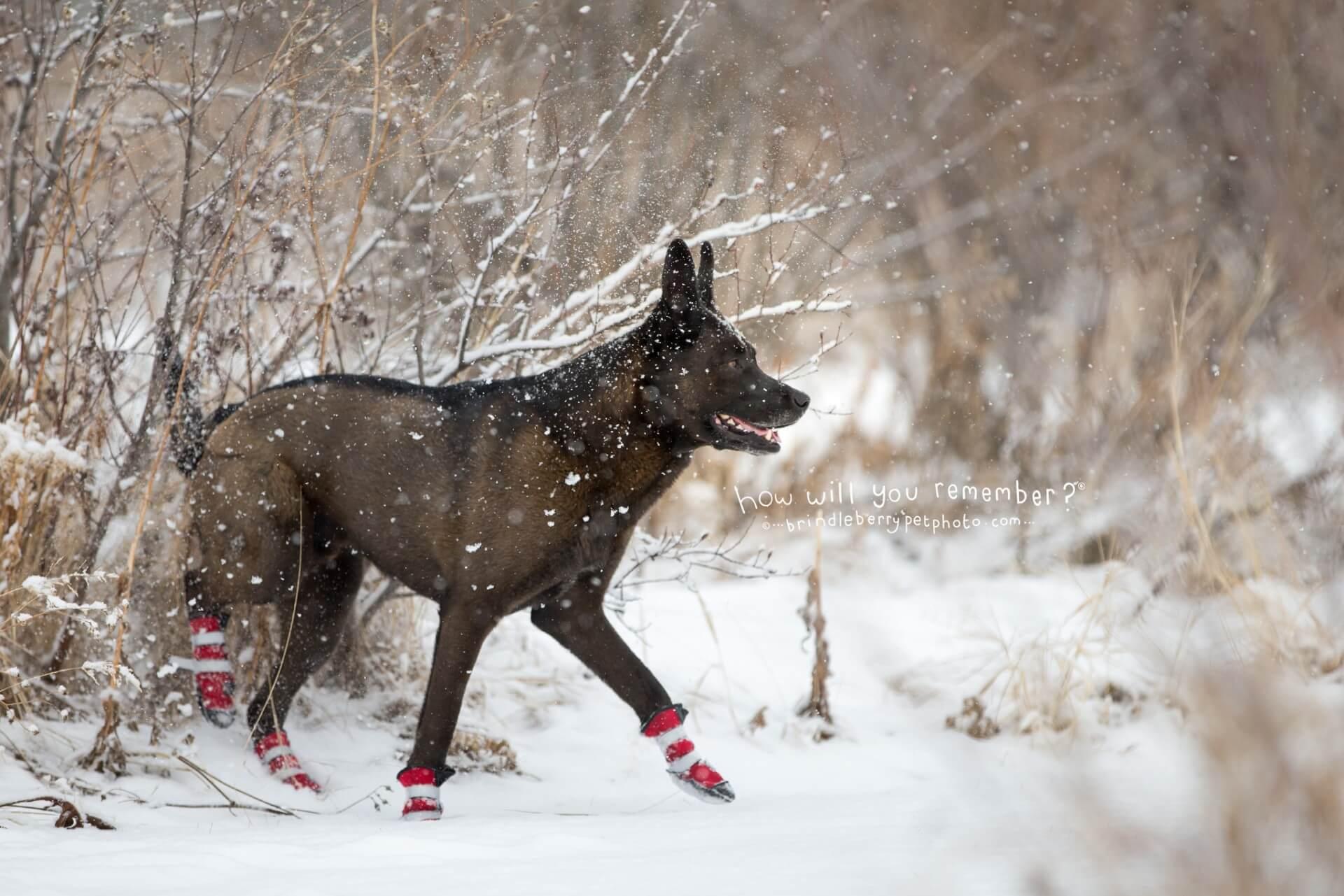 Shepherd dog in snow wearing boots