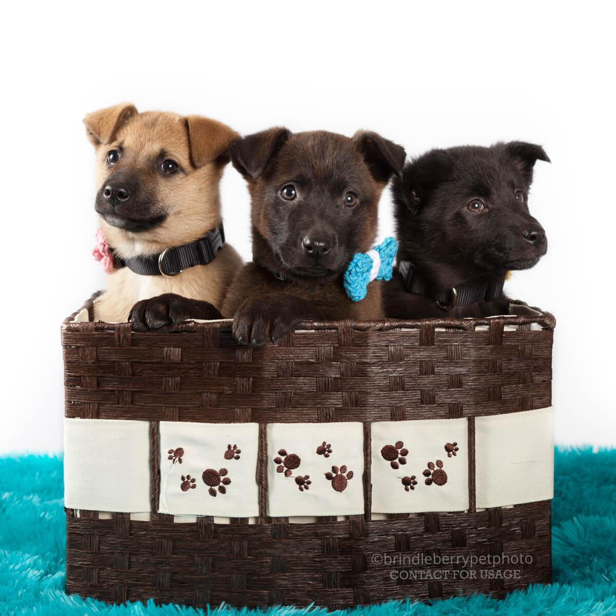 SHEPHERD PUPPIES BASKET