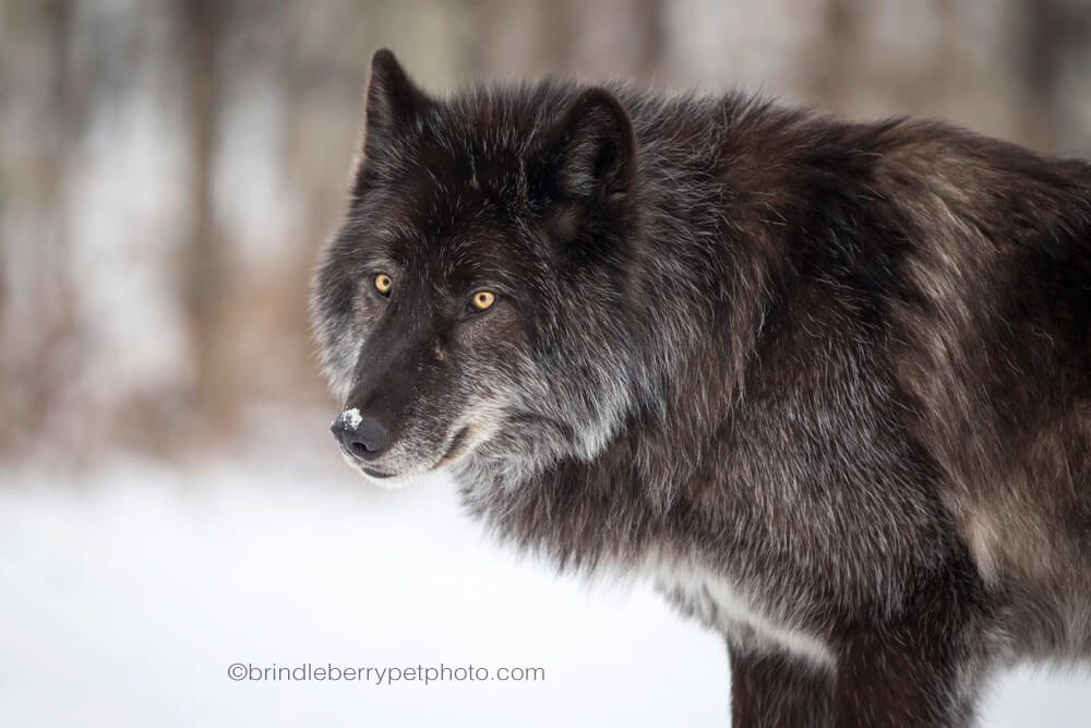 A visit to Yamnuska Wolfdog Sanctuary