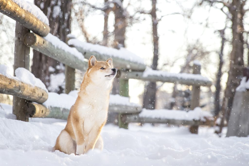 SHIBA SNOWING