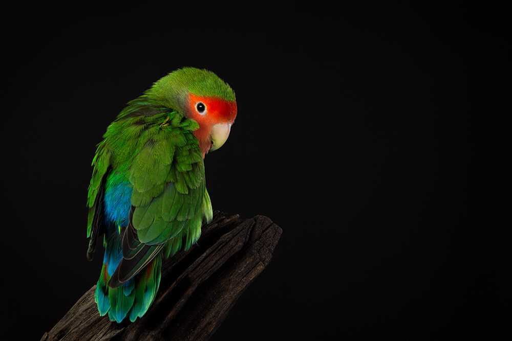 Hodgie the Lovebird's Photo Session [Studio Pet Photography]