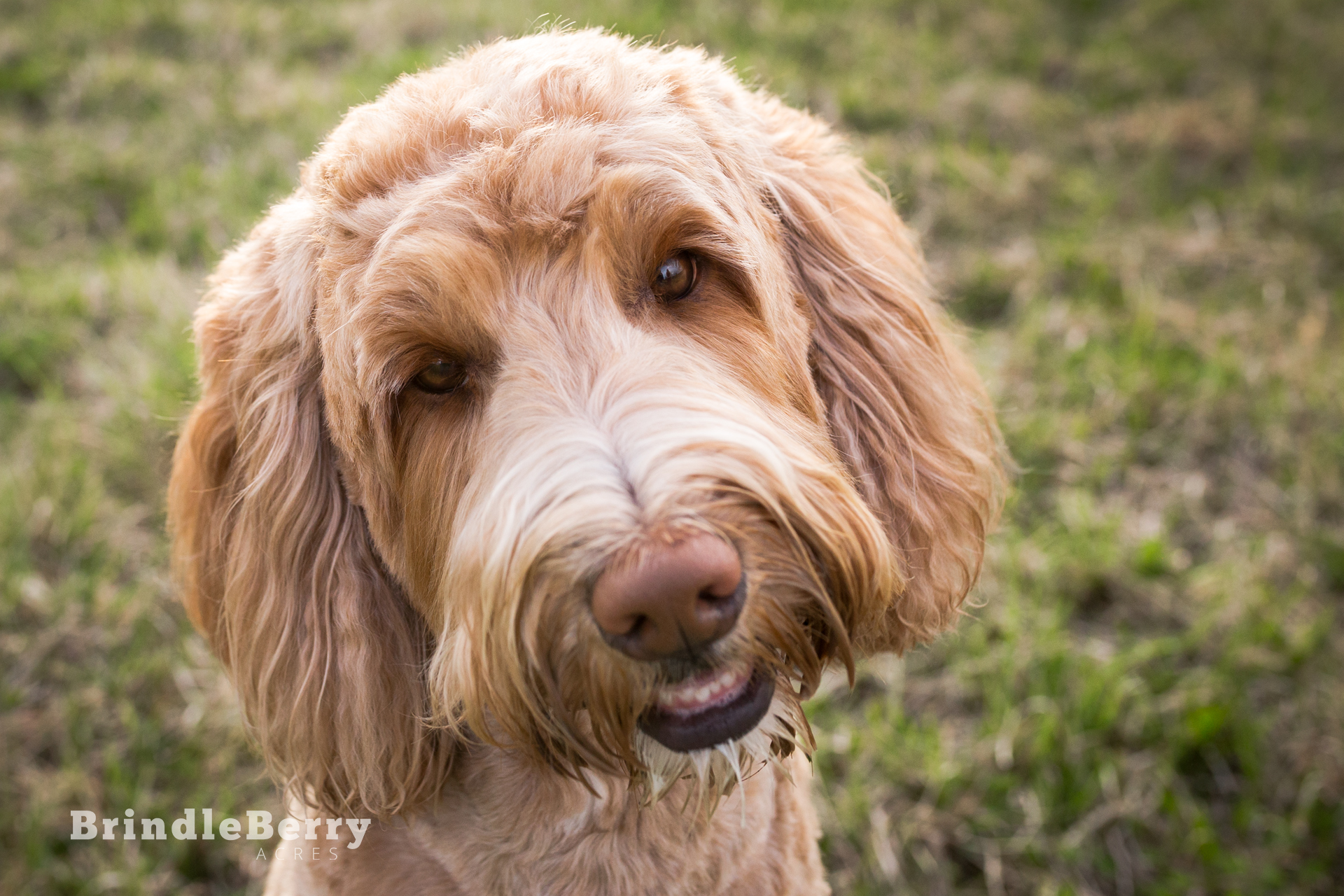 ALBUS THE GOLDENDOODLE