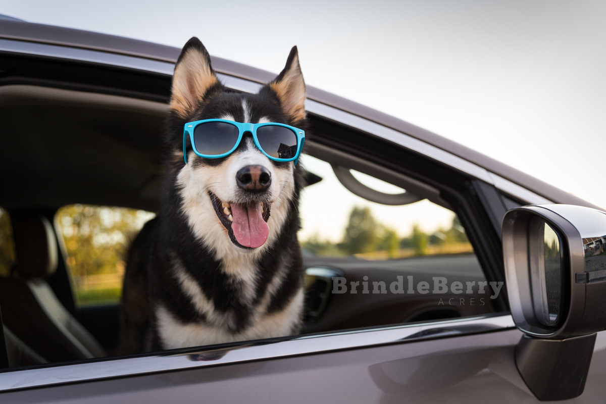 HUSKY WEARING SUNGLASSES