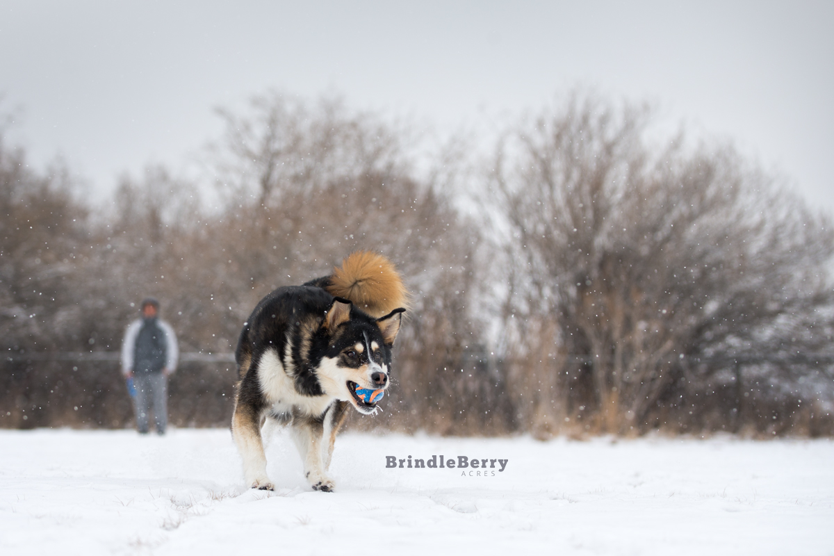 HUSKY PLAYING FETCH
