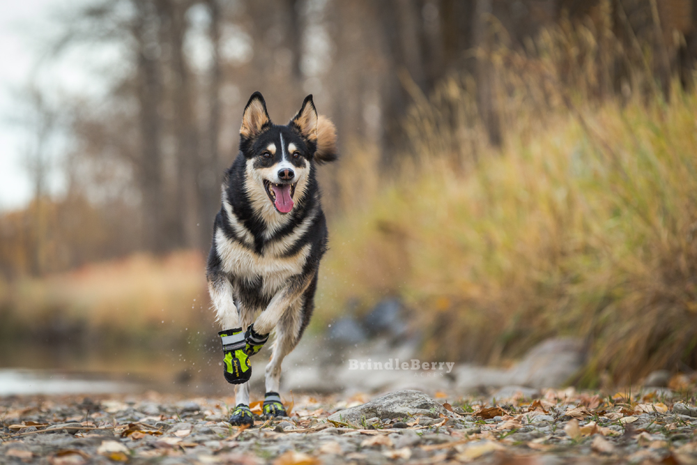 HUSKY RUNNING IN DOG BOOTS