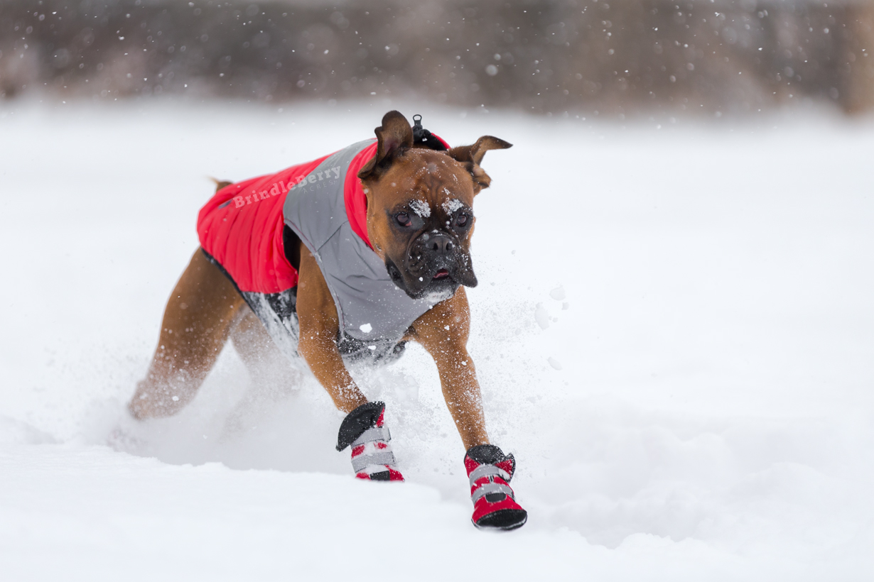 BOXER RUNNING IN JACKET