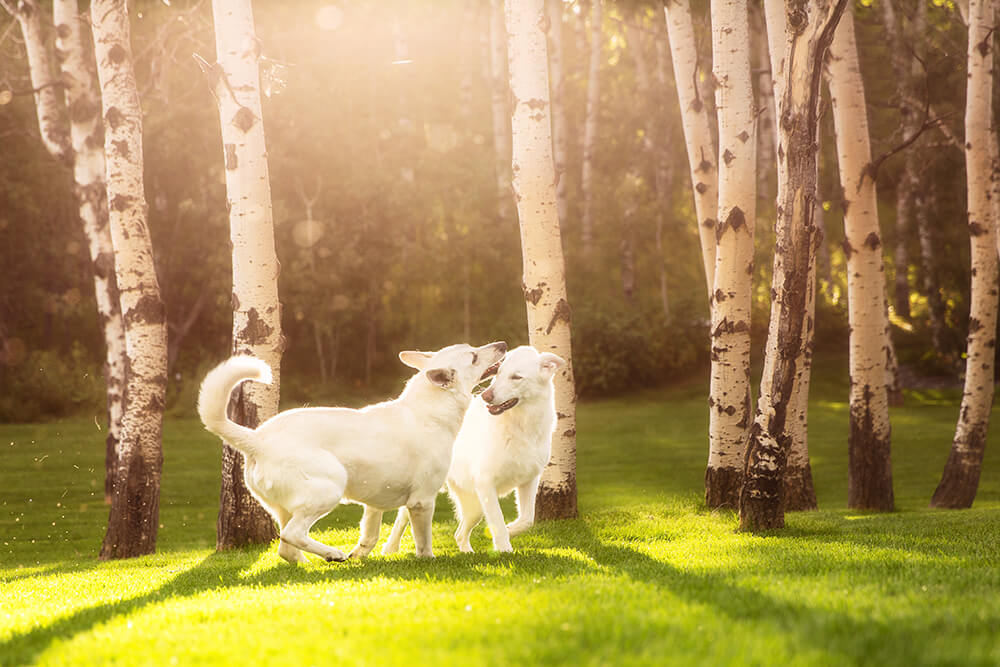 Two White Shepherds Playing in the Sun