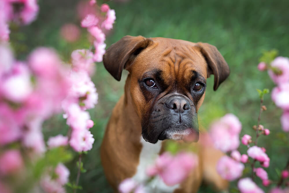 Boxer in Pink Flowers