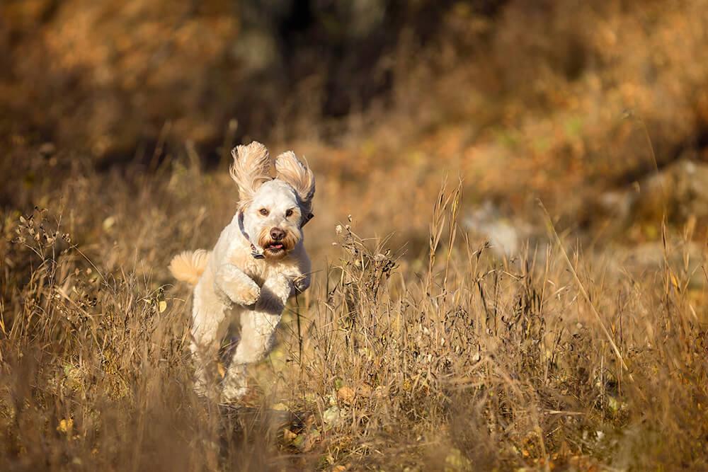 Doodle Running in Golden Grass