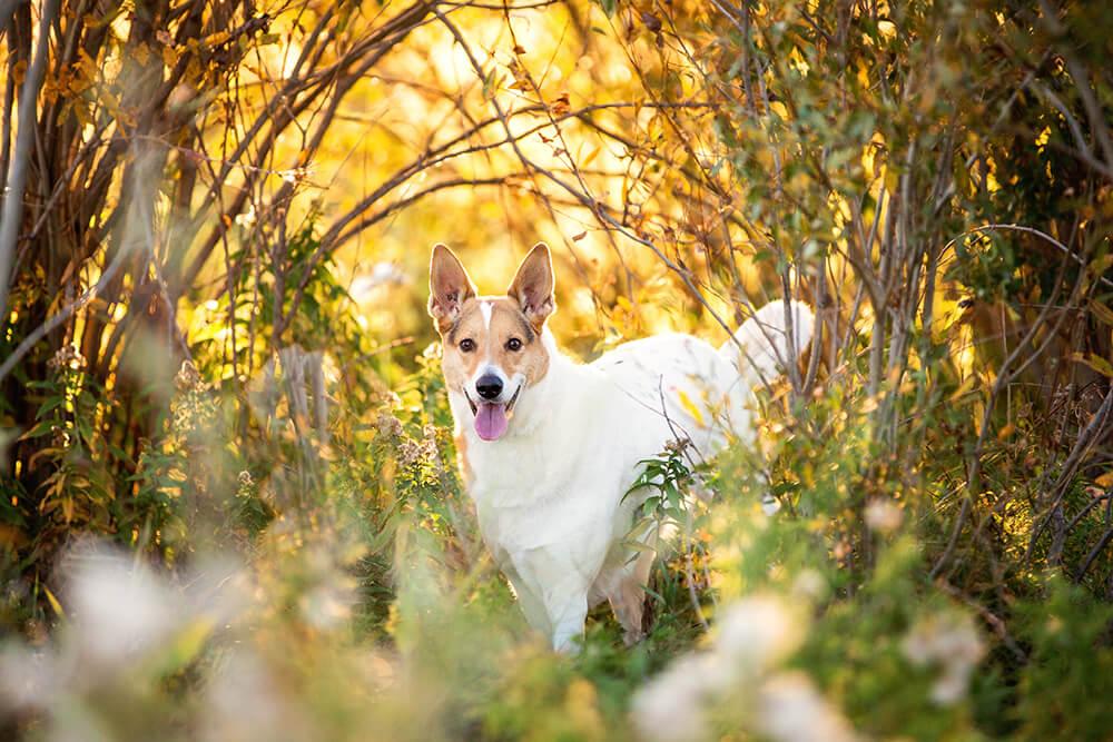 Husky Mix Basking in Sunshine
