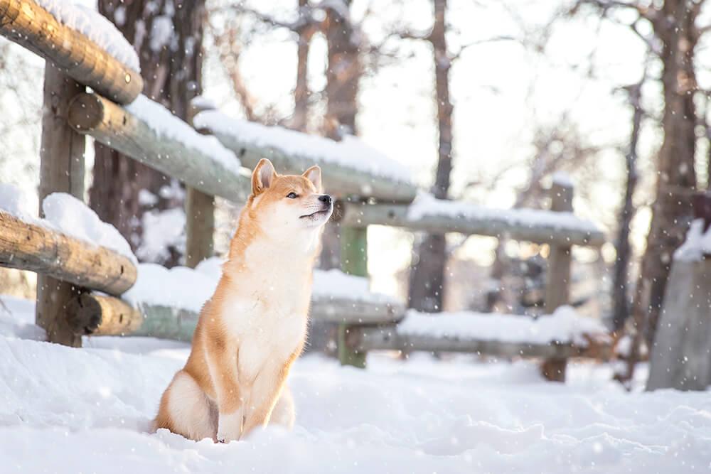 Shiba in Snow