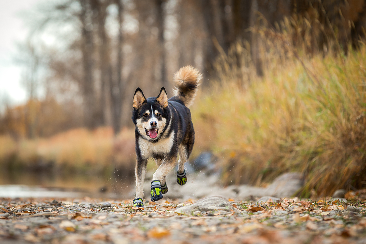 Husky Chasing Ball in Boots
