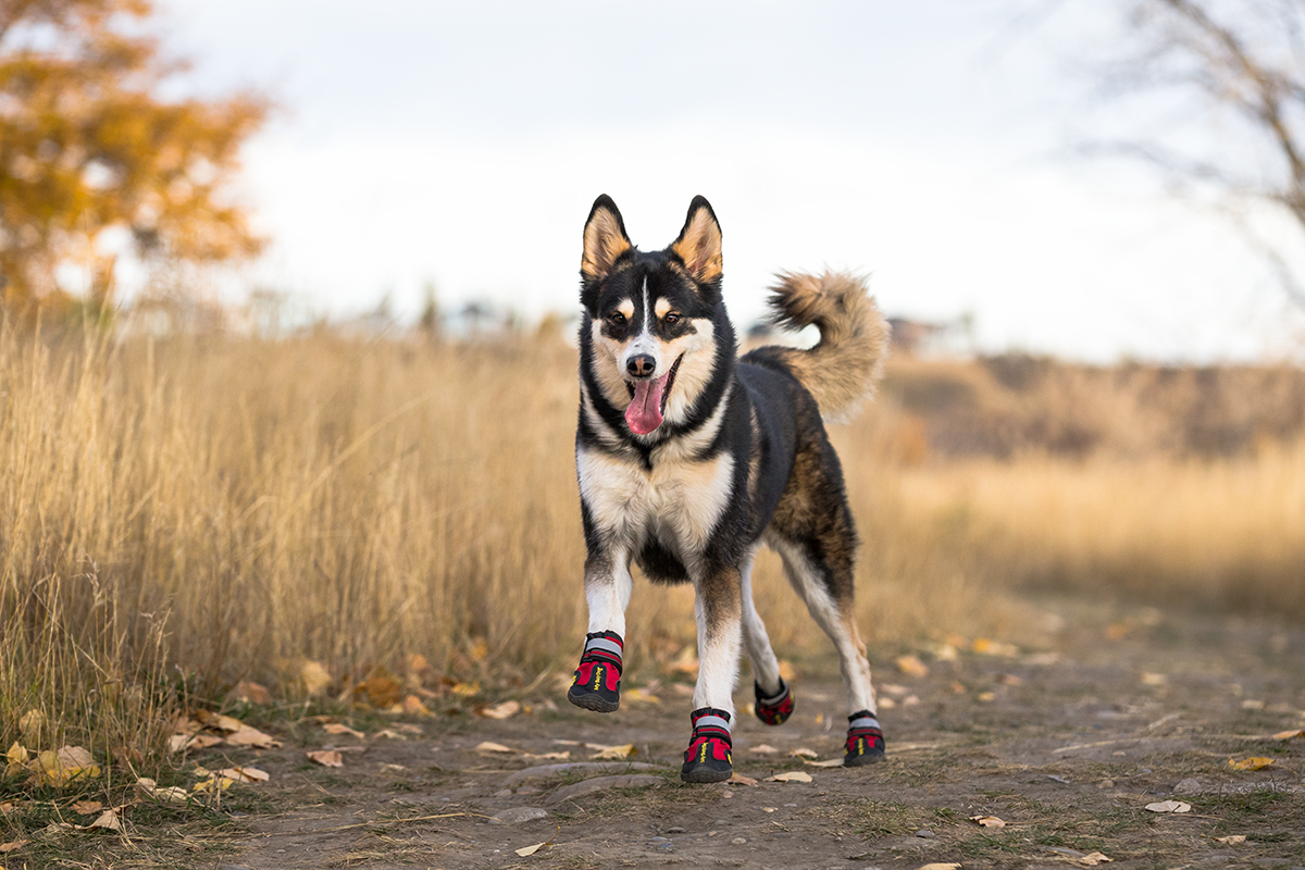 Husky Running on Path