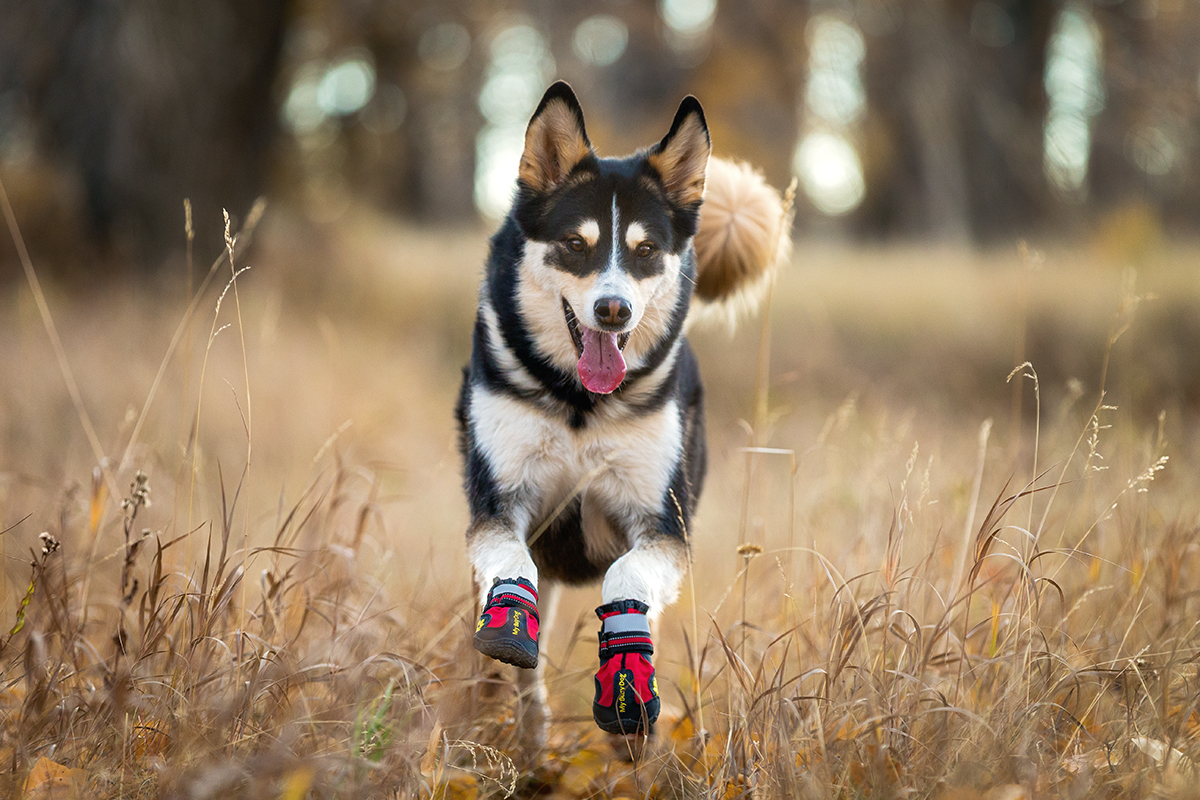Husky Running with Boots