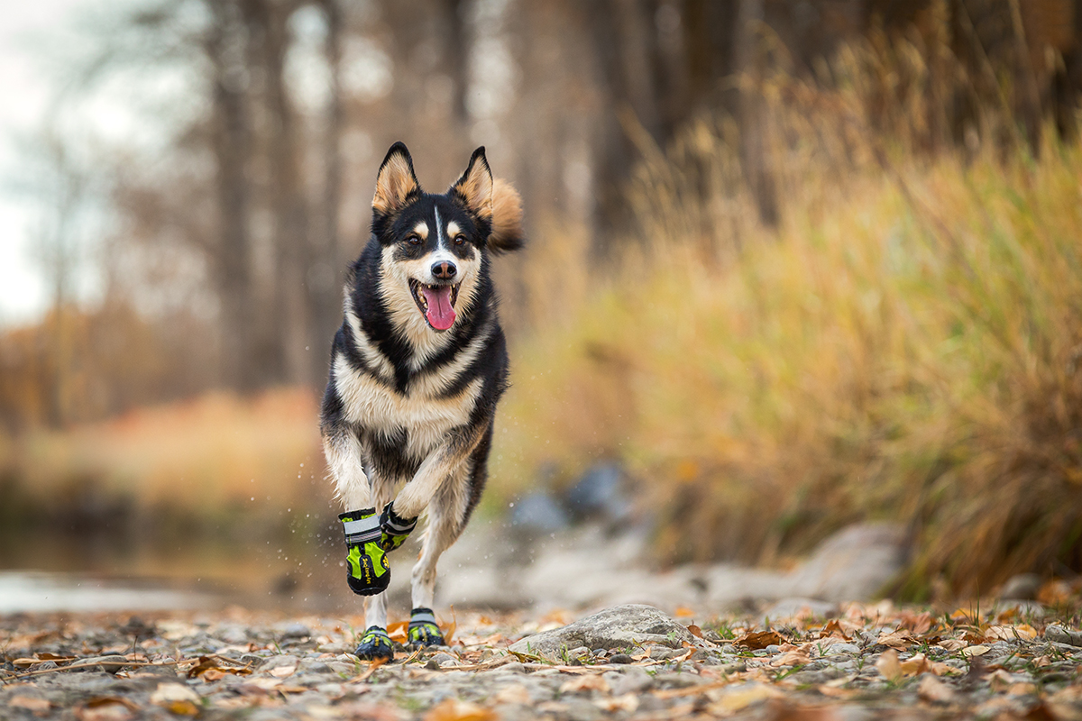 Husky Running with Green Boots