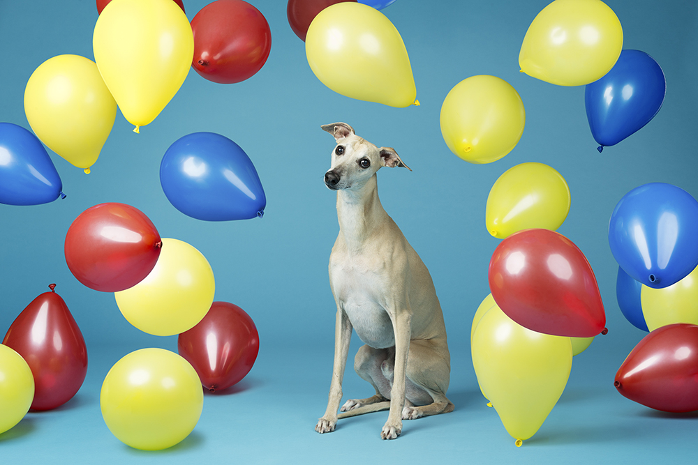 Toby - Fastest time to pop 100 balloons by a dog 3567