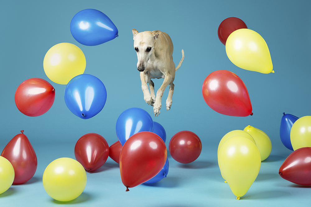 Toby - Fastest time to pop 100 balloons by a dog 3631