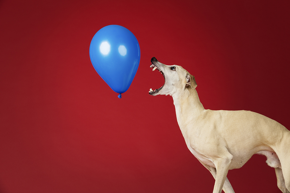 Toby - Fastest time to pop 100 balloons by a dog 3826