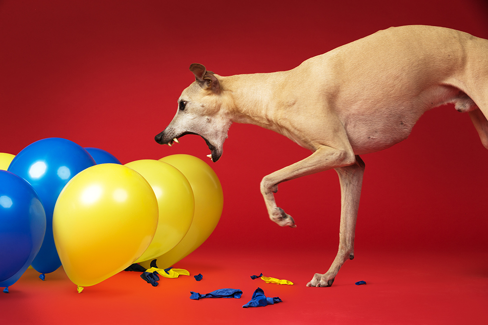 Toby - Fastest time to pop 100 balloons by a dog 3868