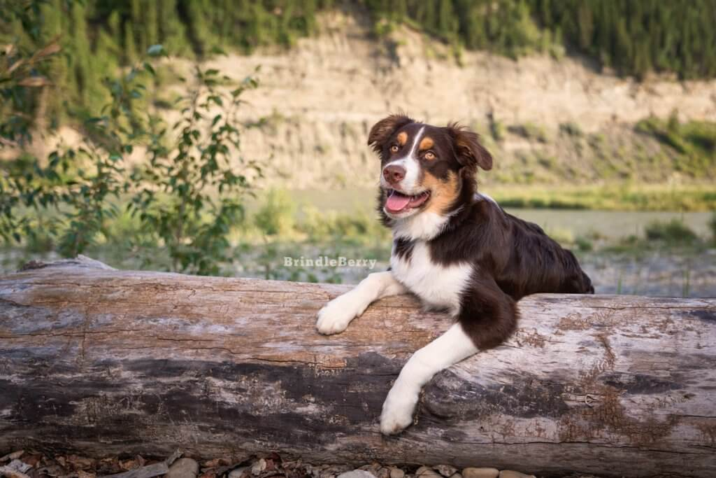 Aussie Shepherd leaning on log