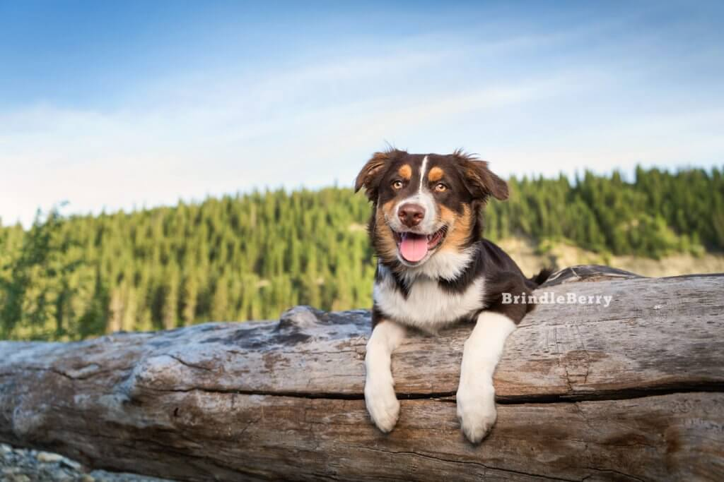 Australian Shepherd Leaning on Log