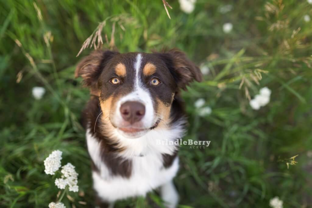 Aussie Shepherd Looking UP