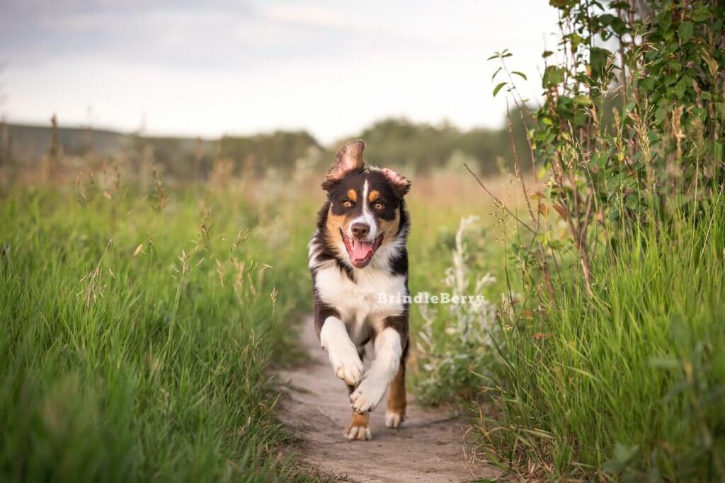 Aussie Puppy Running