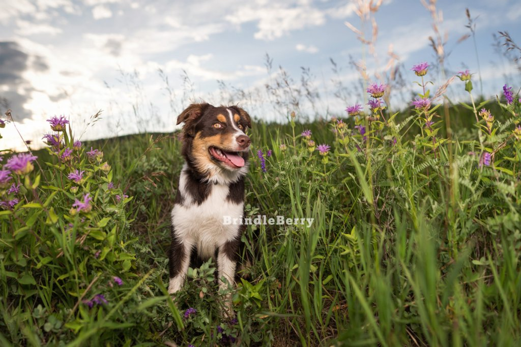 Aussie Puppy in Purple Flowers