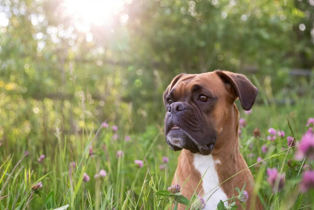 Boxer in Long Grass
