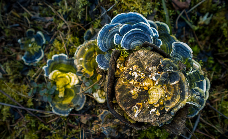 Help Slow the growth of Cancer Cells in your Dog with Turkey Tail Mushrooms